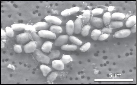 In einer Veröffentlichung im Jounral Science beschrieben Forscher 2010, das Bakterium des Stammes GFAJ-1 könne auf Arsen wachsen.